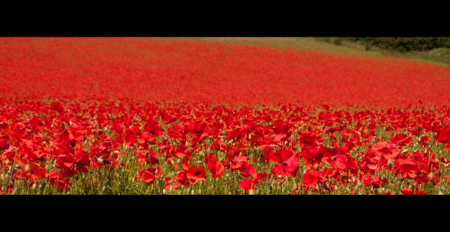 poppy field, Worcestershire
