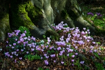 Lacock Abbey cyclamen