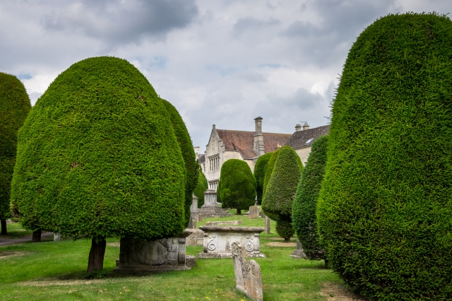 The famous yew trees in the churchyard