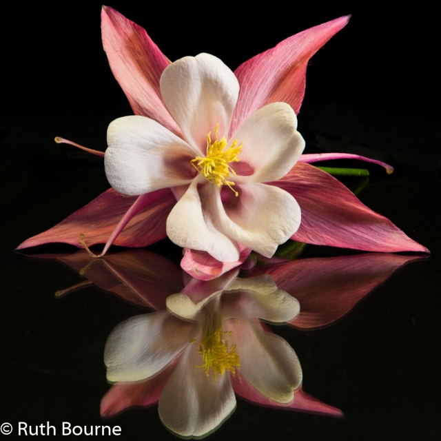 8 aquilegia reflection-0004 watermarked