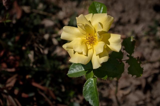 Leonard's rose